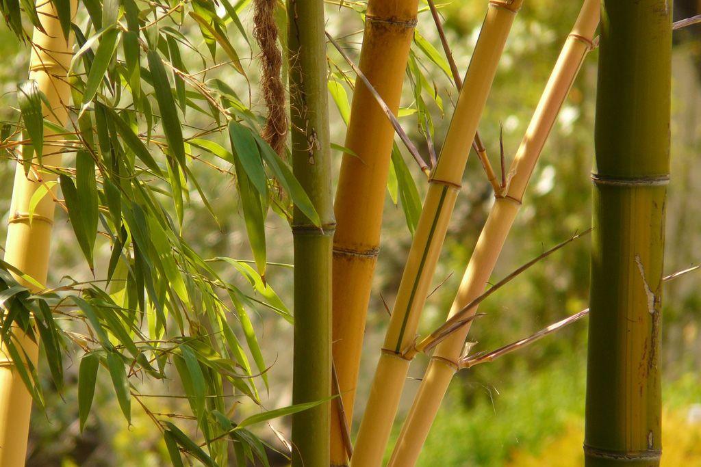 Бамбук — самая высокая трава в мире (интересные факты)