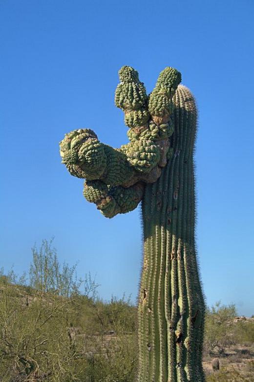 кактусы сагуаро