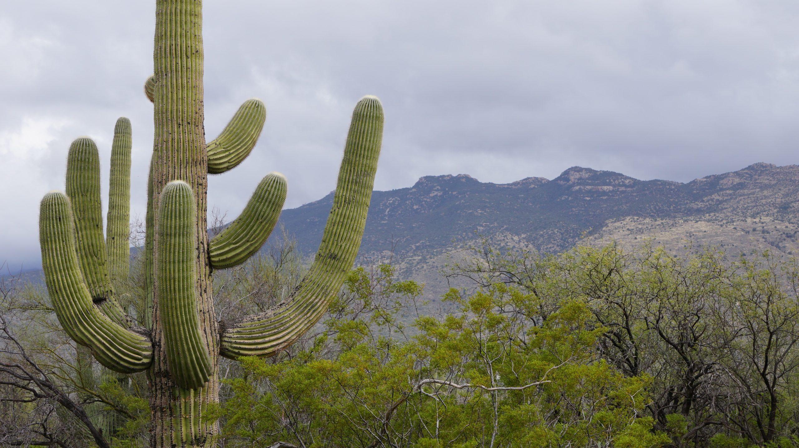 фото кактус сагуаро
