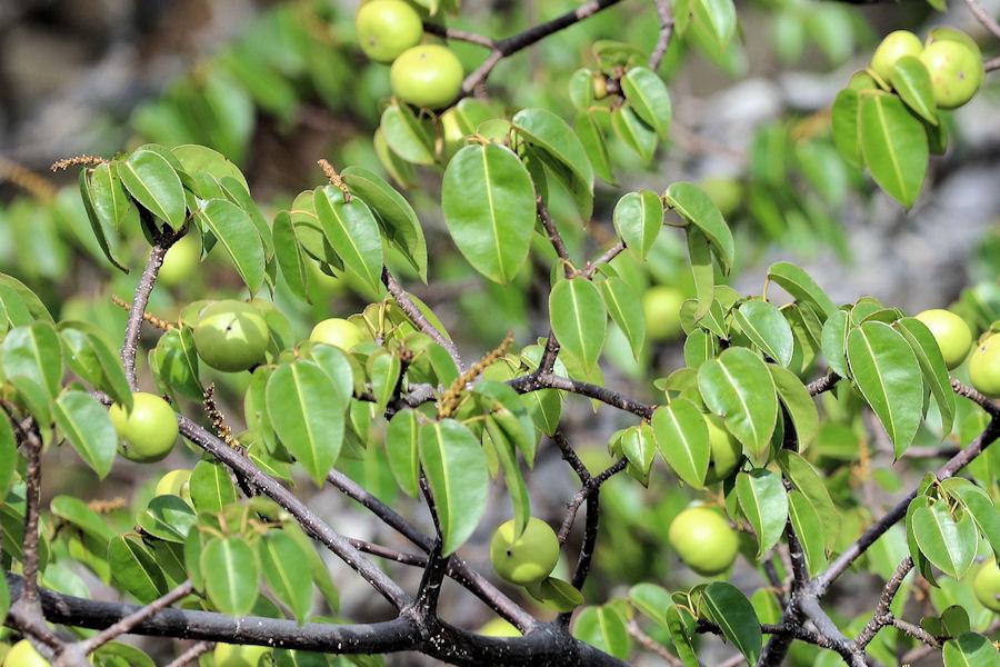 манцинелловое дерево плоды