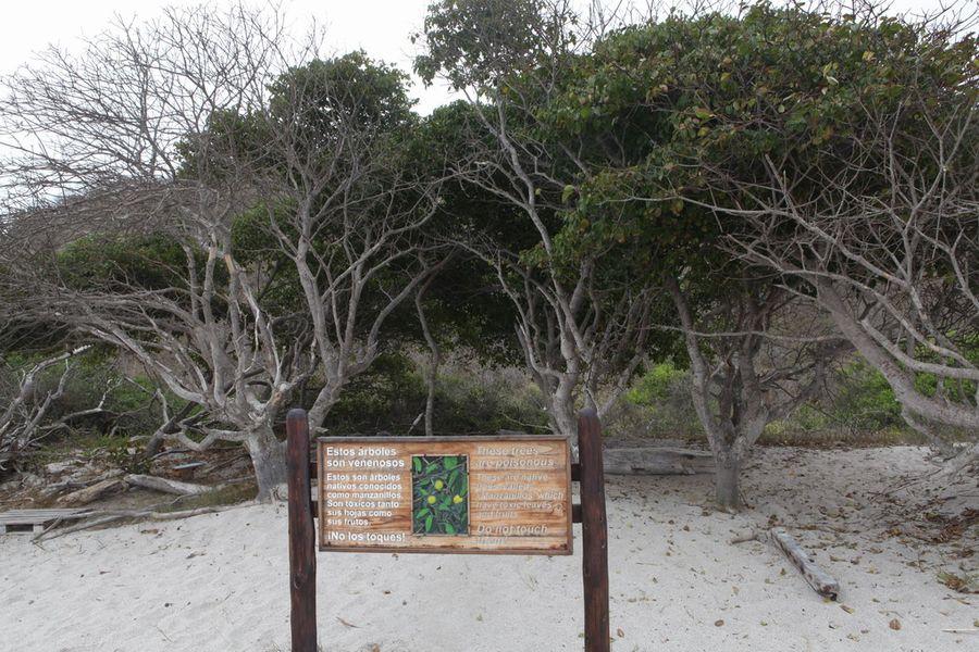 Манцинелла - самое опасное дерево в мире