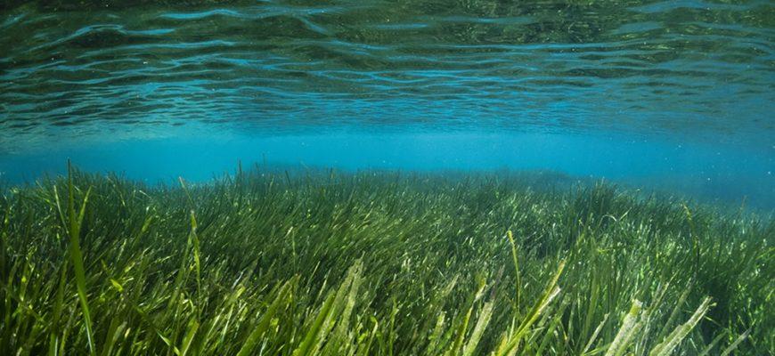 Посидония океаническая
