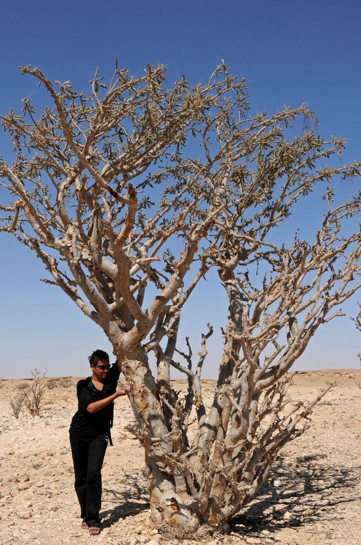 Из какого дерева получают ладан?
