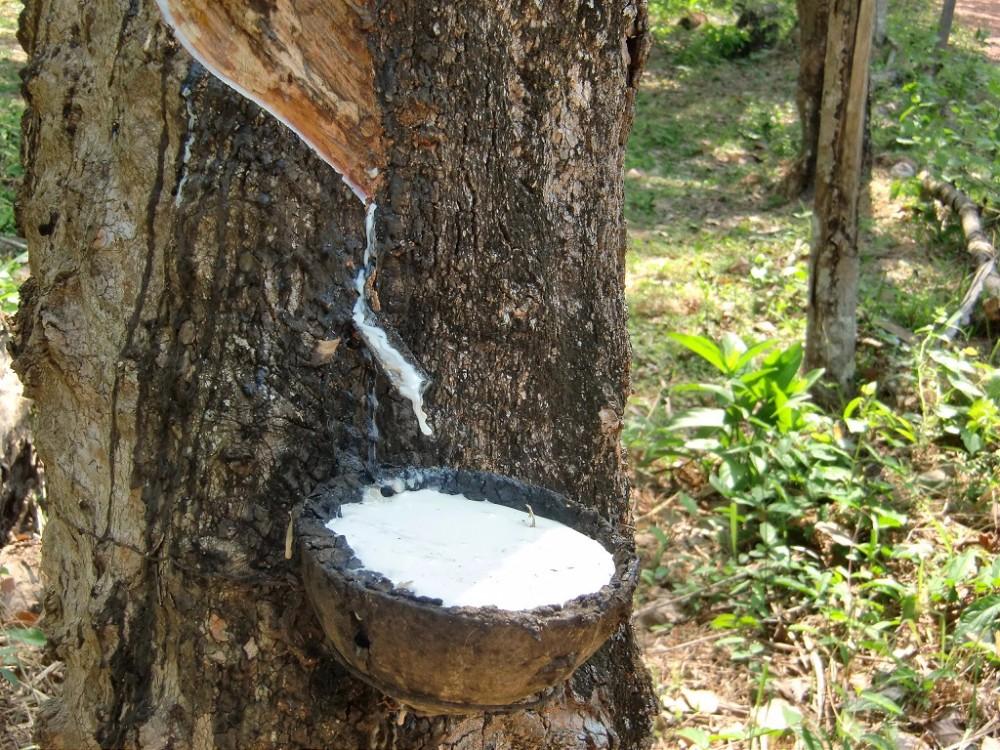 Гевея - дерево, из сока которого делают автомобильные шины