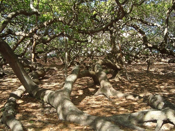 Кешью Пиранжи – дерево величиной с лес