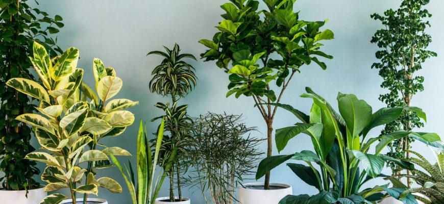 Комнатные растения для привлечения денег